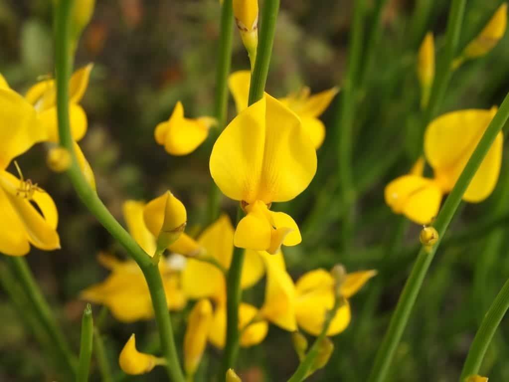 Vista de las flores del Spartium junceum