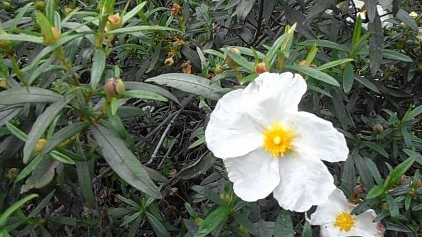 flores jara de hojas de laurel