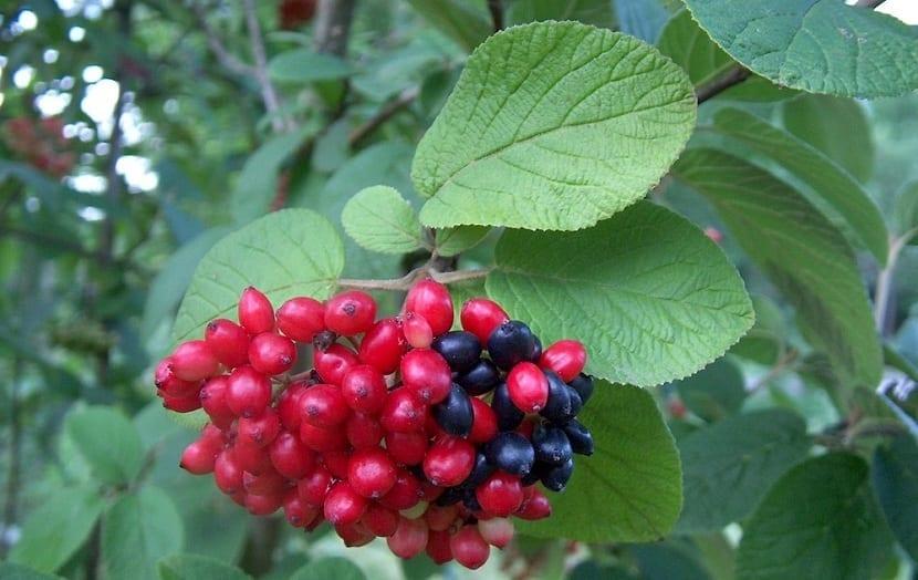 frutos de varios colores del barbadejo