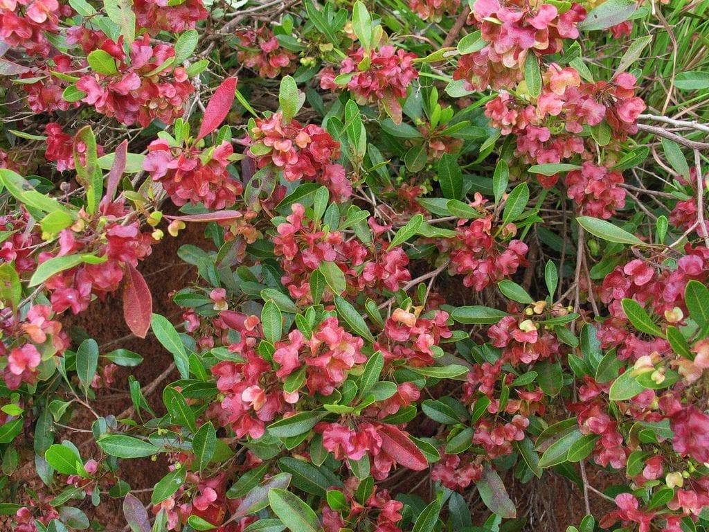 Flores del granadillo