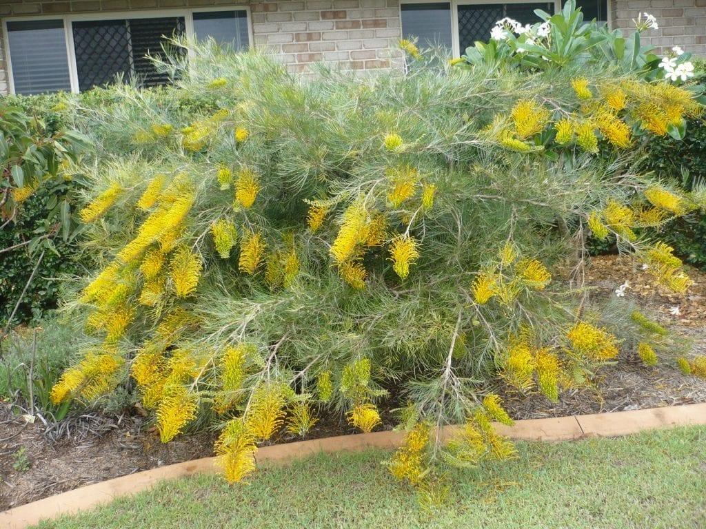 La Grevillea Golden Yu Lo tiene flores amarillas