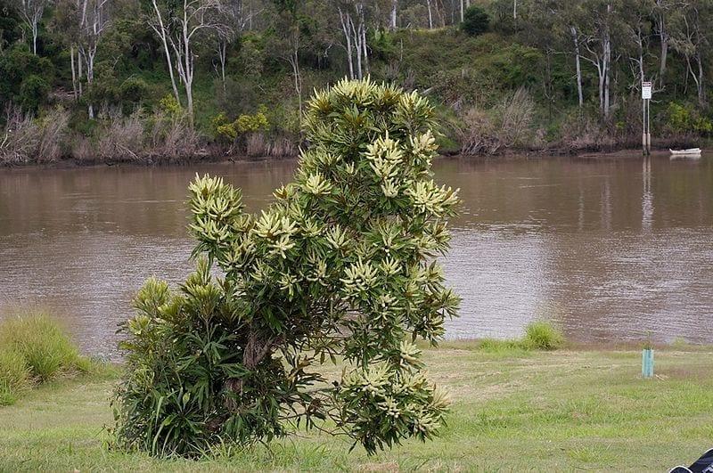 La Grevillea baileyana produce flores amarillo-verdosas