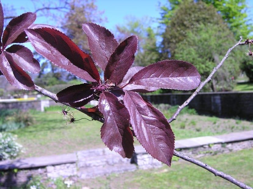 hoja del arbol llamado Ciruelo de hojas púrpuras de un color morado-purpura intenso