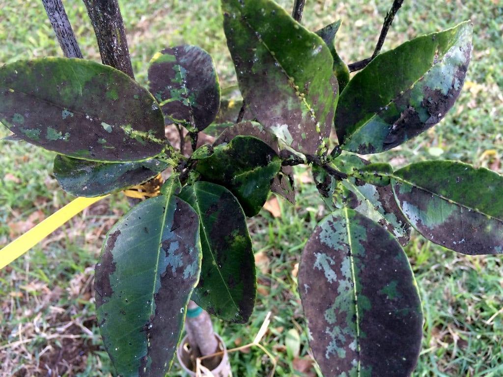 La negrilla es un hongo que recubre la superficie de las hojas