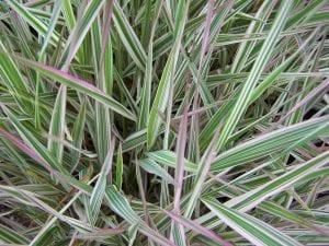 hojas de la Phalaris arundinacea donde algunas son de color como rosaceo y otras verde claro