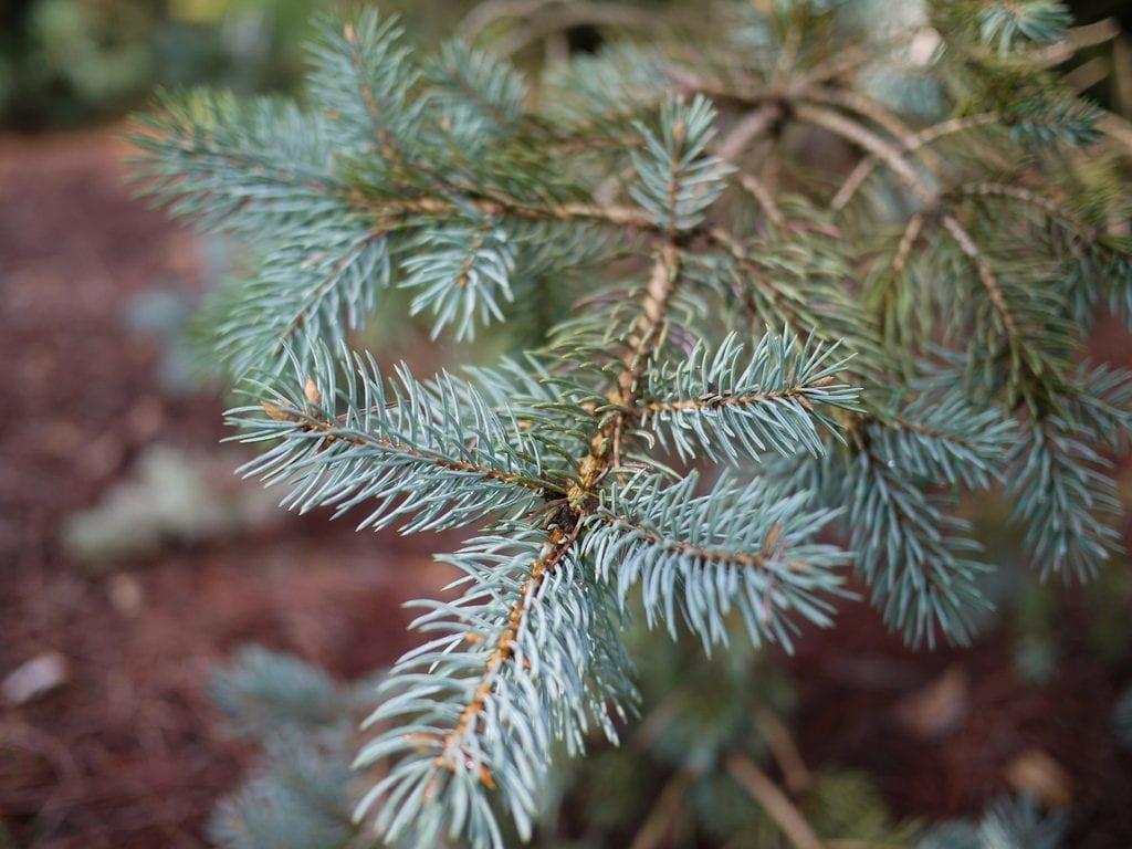 Las hojas del Picea pungens son verdosas o azuladas