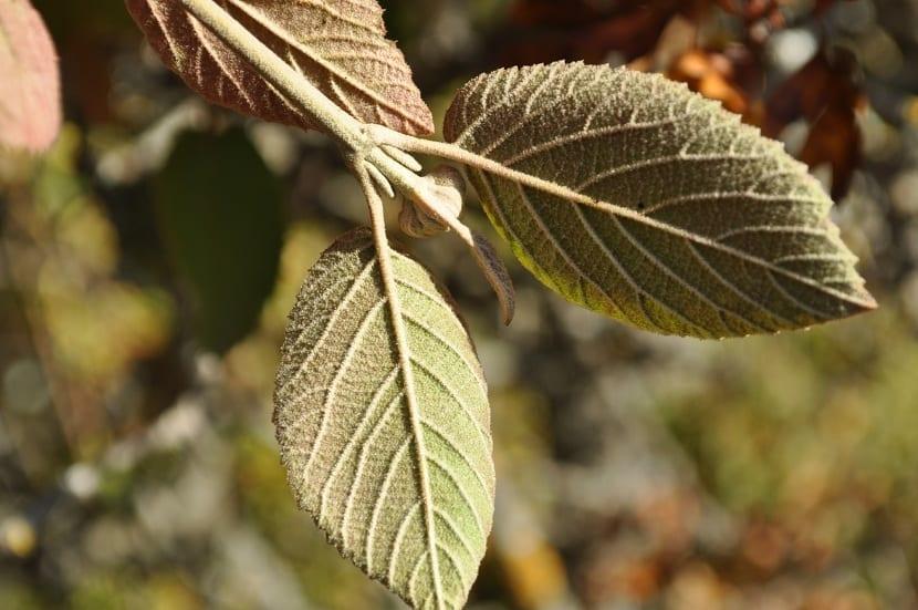 hojas del barbadejo