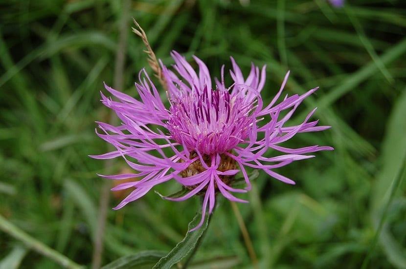 imagen de la flor rosada de la planta Centaurea aspera de cerca