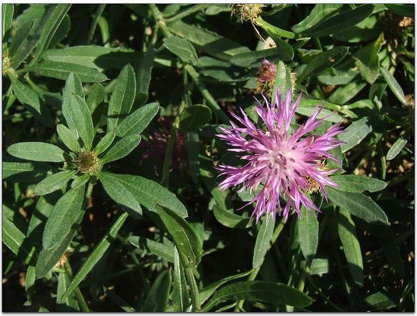imagen de una flor de cerca de un arbusto de plantas llamado Centaurea aspera