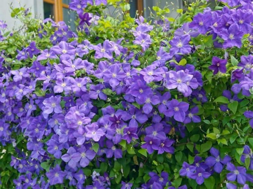 jardin lleno de planta sy flores moradas de la planta Clematis Jackmanii