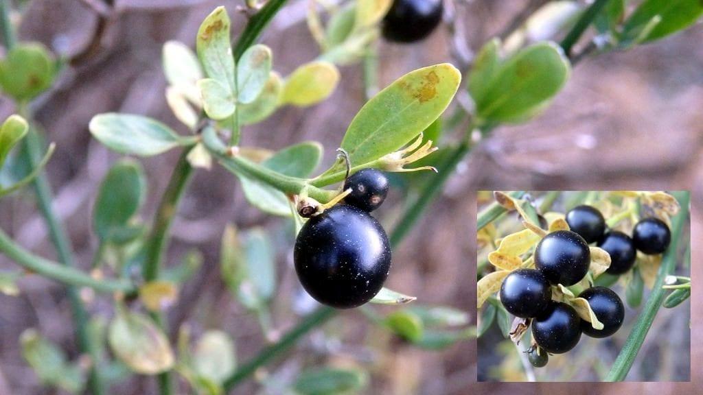 Los frutos del Jasminum fruticans son redondos y negros