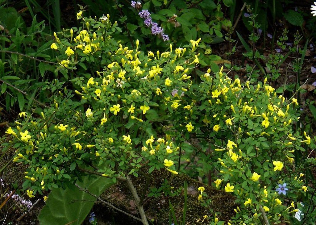 El Jasminum fruticans es una trepadora pequeña