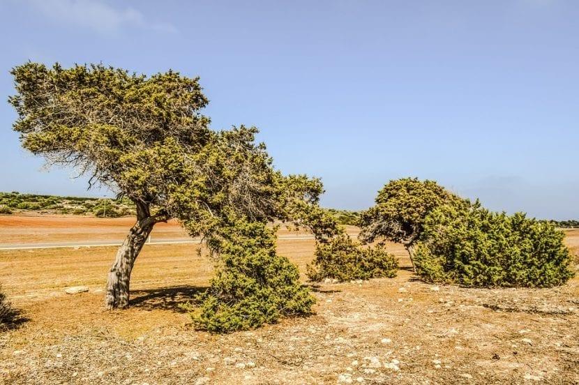 Vista del Juniperus phoenicea en hábitat