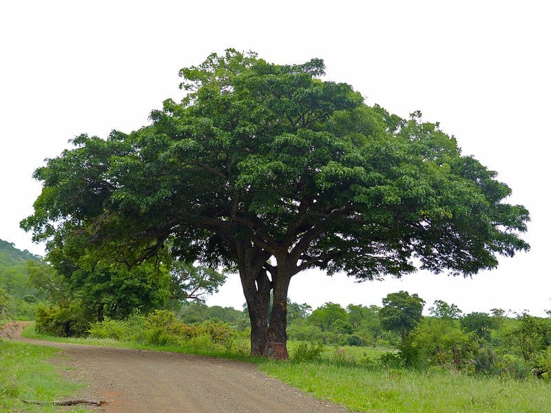 Vista de la Kigelia africana