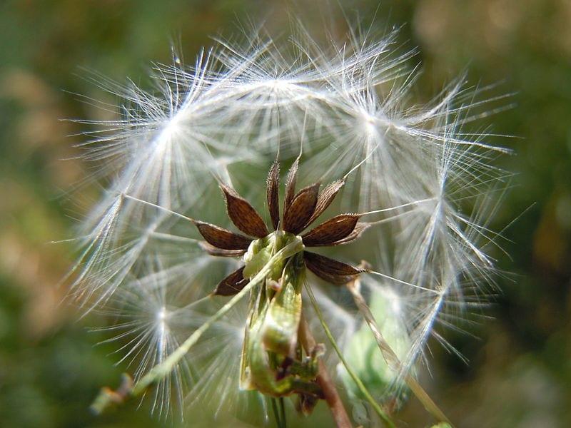Semillas de Lactuca serriola