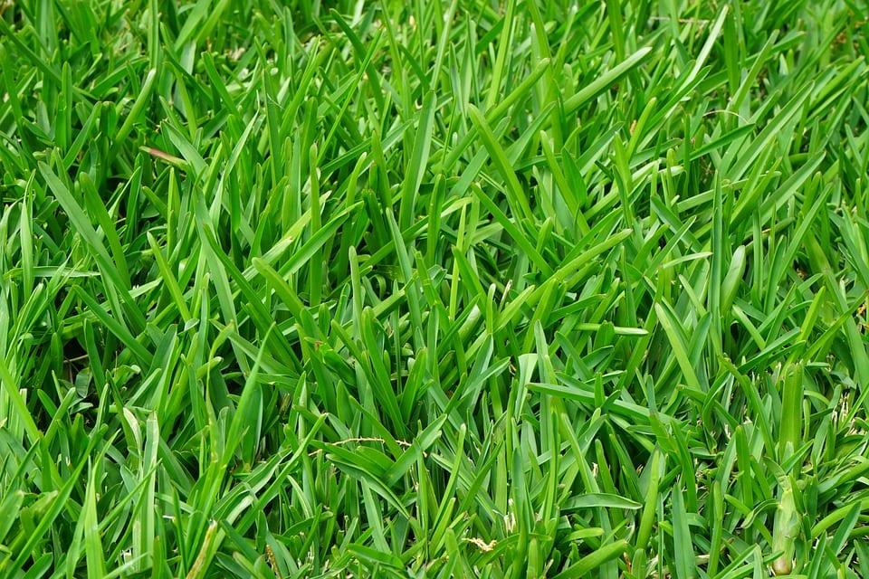 El Lolium perenne es una hierba que se utiliza como césped