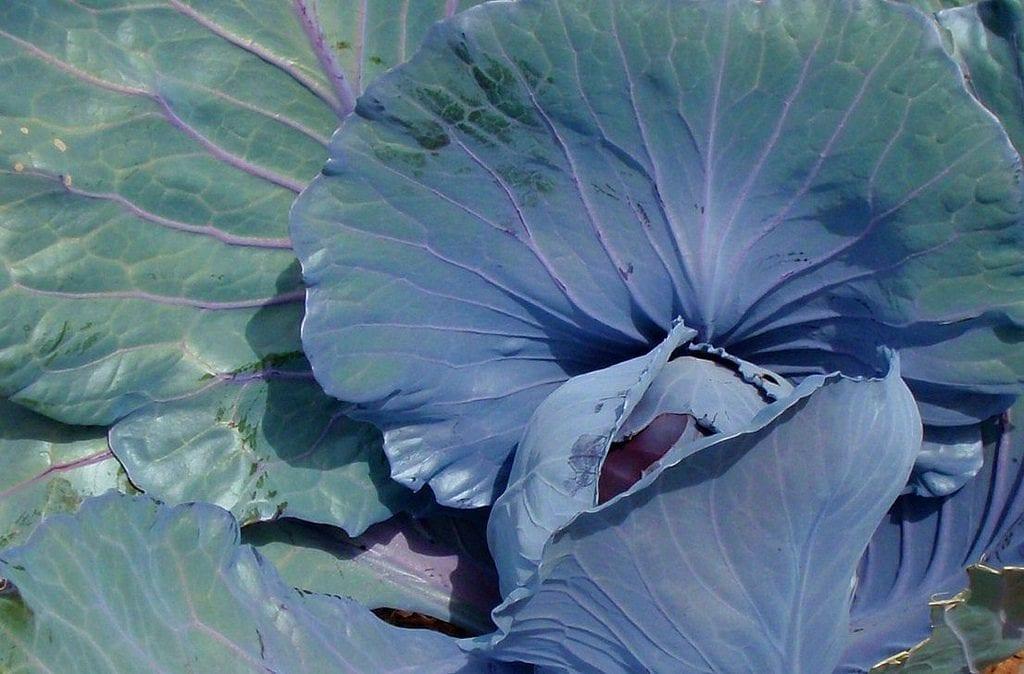 La coliflor morada tiene las hojas preciosas