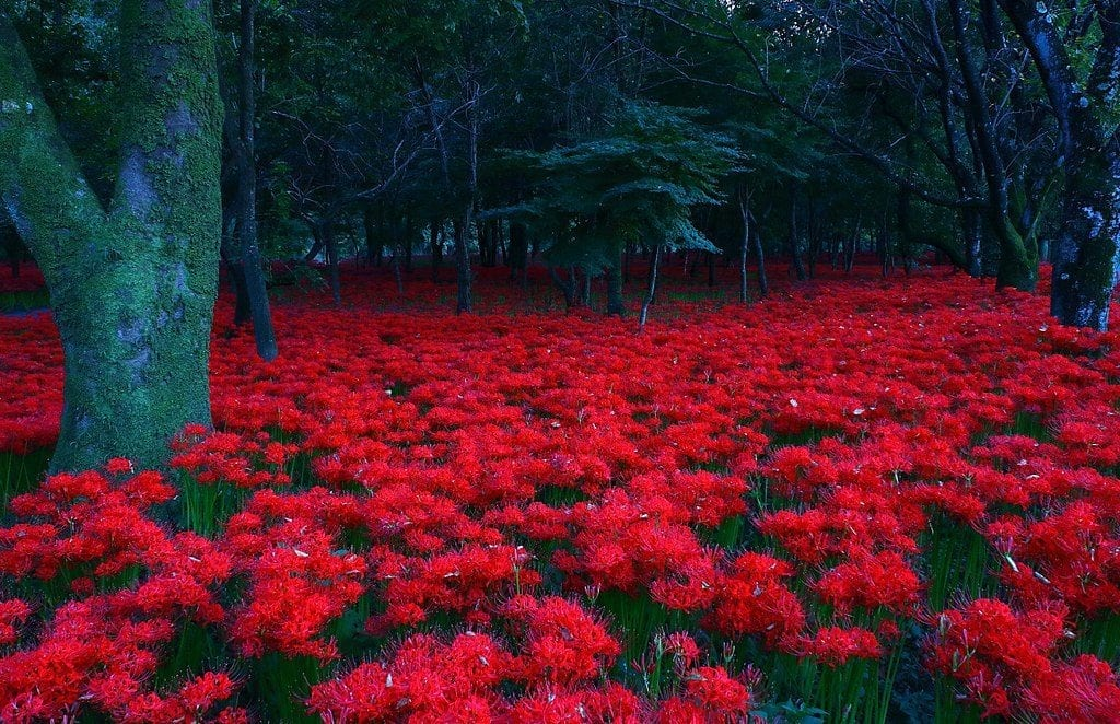 Lycoris radiata en hábitat