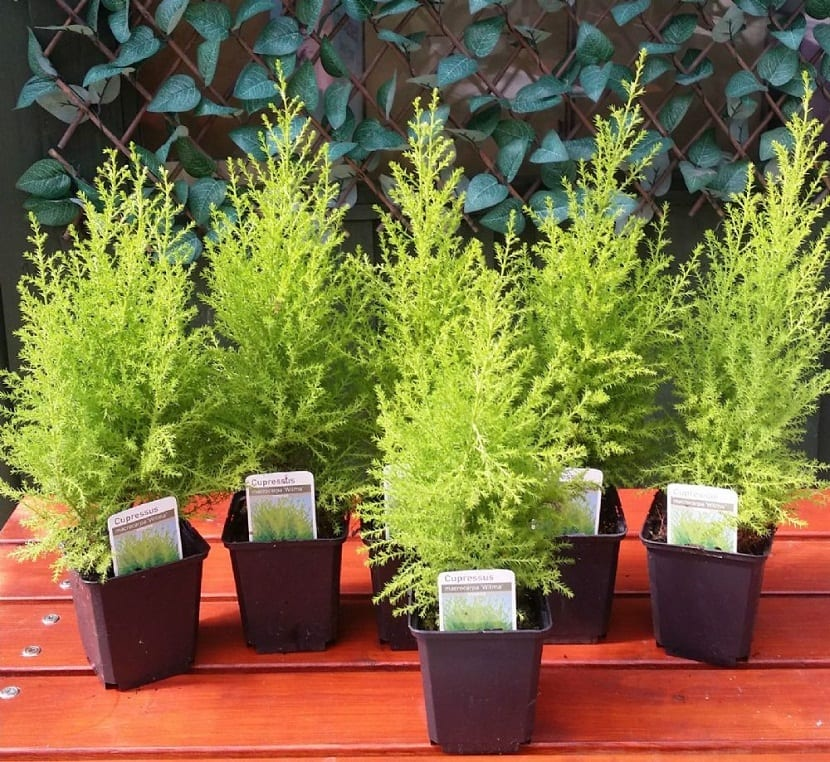 macetas coniferas enanas del arbol Cupressus macrocarpa