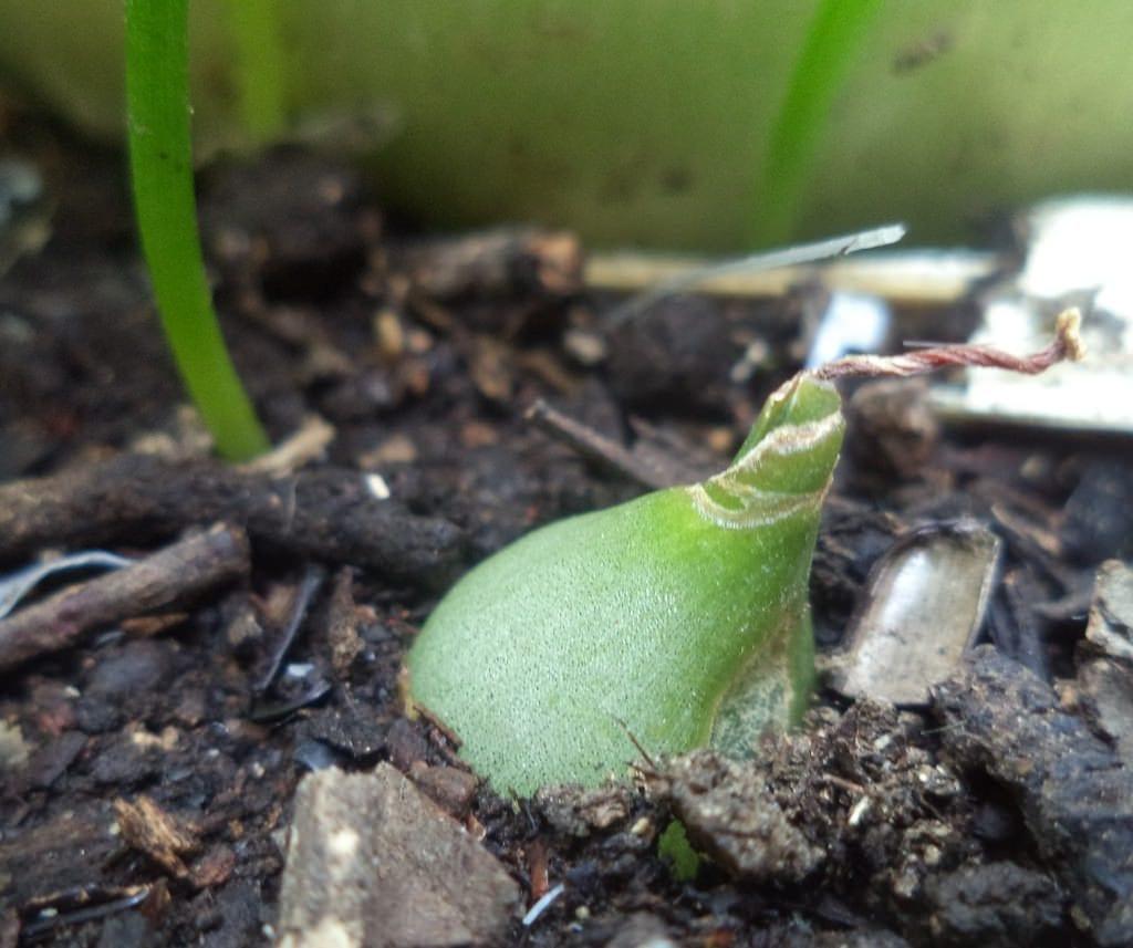 El Ornithogalum se multiplica por semillas o bulbos