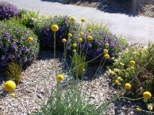 parte de un jardin con diferentes flores de colores, entre ella la Craspedia globosa