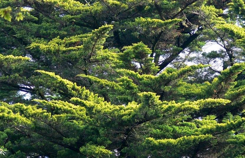 parte del arbol Cupressus macrocarpa con hojas verdes