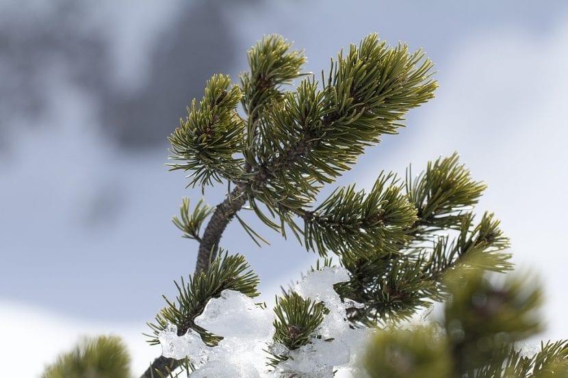 El pino es una conífera muy primitiva