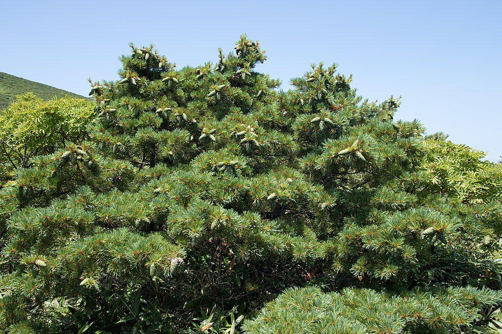 Vista del pino enano