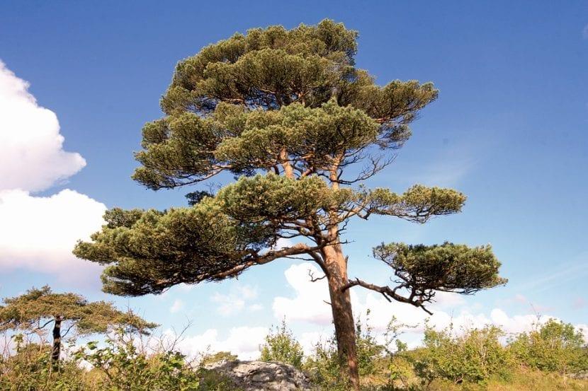 Vista del pino silvestre