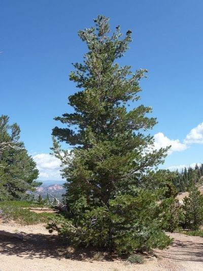 Vista del Pinus flexilis