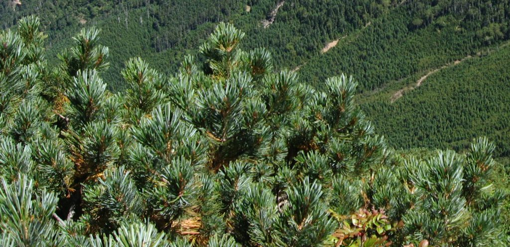 Vista del pino enano en hábitat