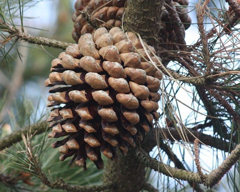 El cono del Pinus radiata tiene forma alargada
