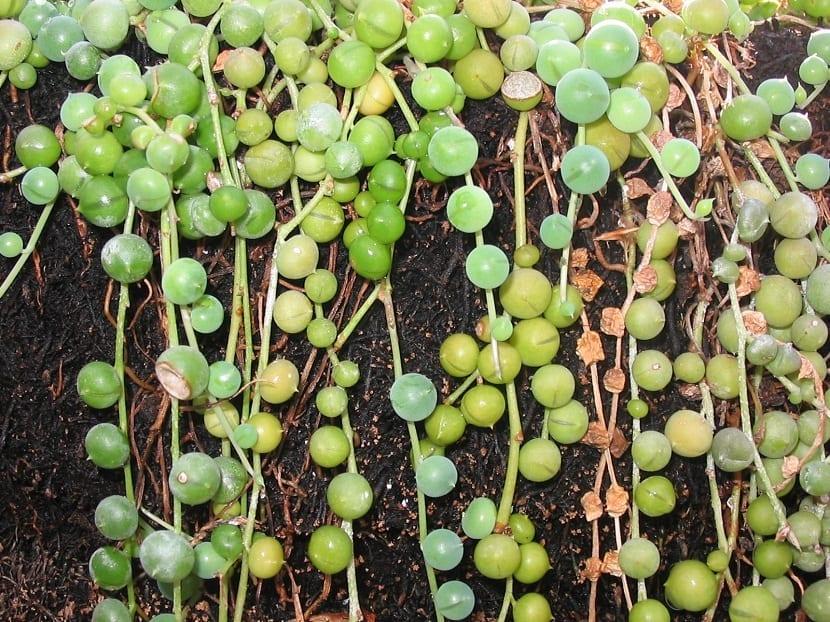 planta colgante de nombre Senecio rowleyanus o rosario