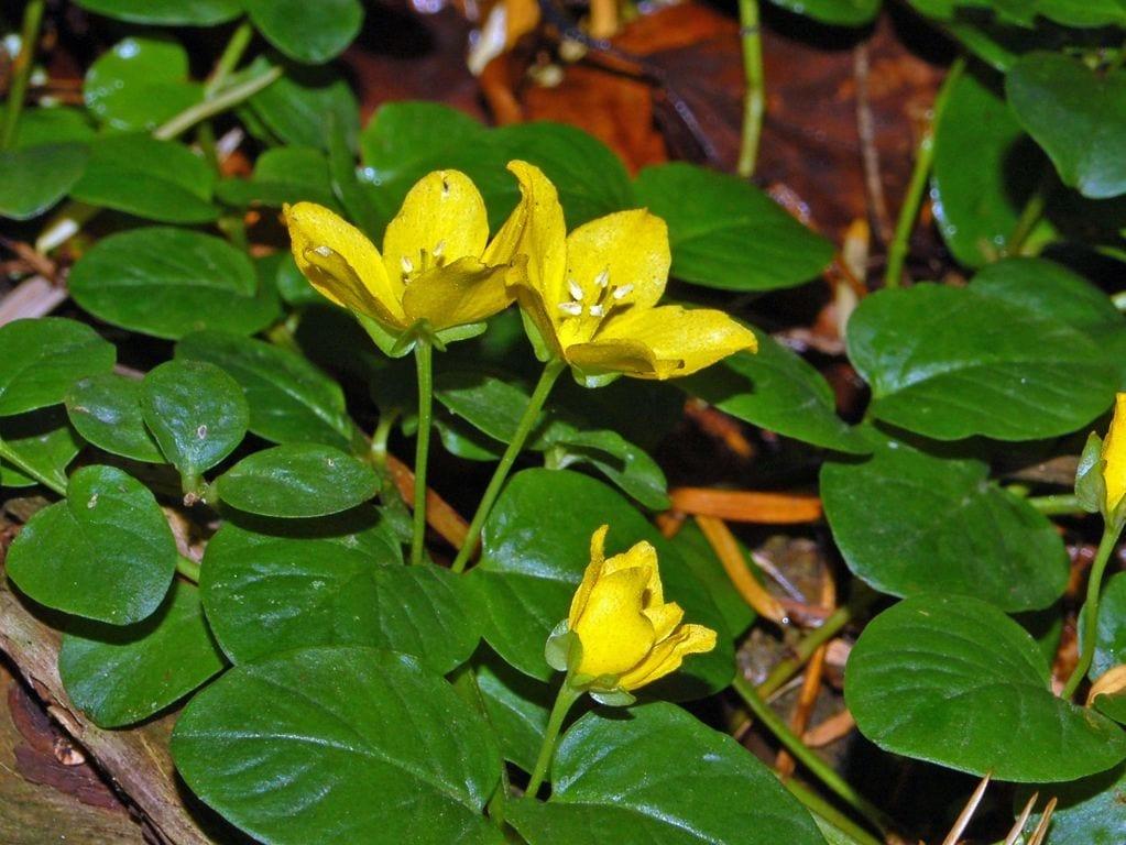 La planta de la moneda produce flores amarillas
