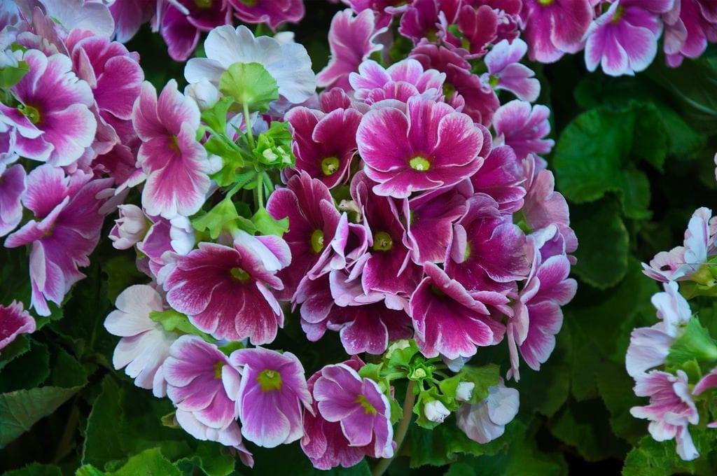 Flores de Primula obconica