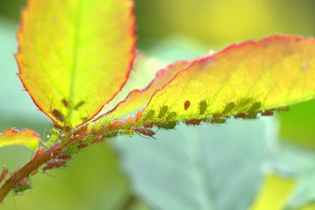 Los pulgones son parásitos muy perjudiciales para las plantas