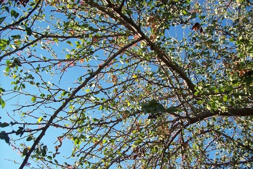 ramas espinosas del guamuchil