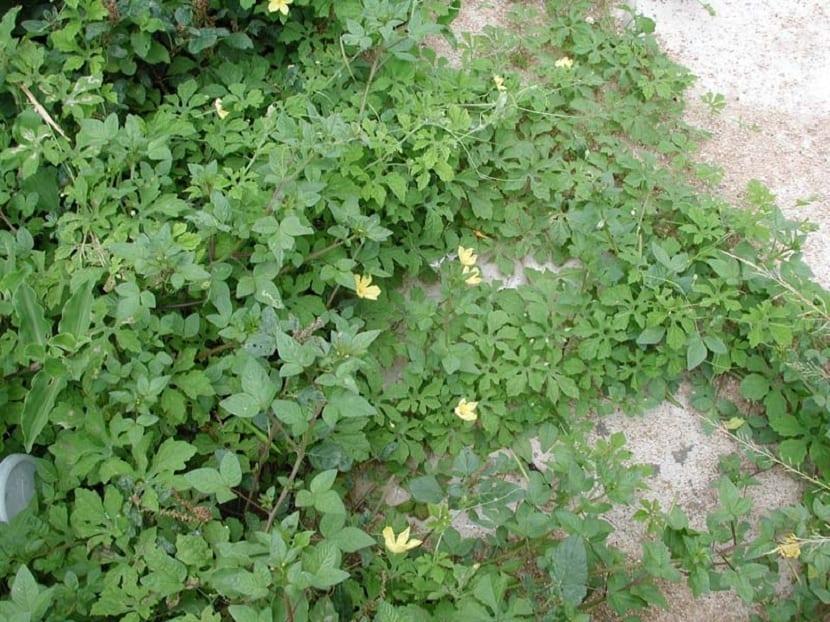 ramas y hojas del melon amargo