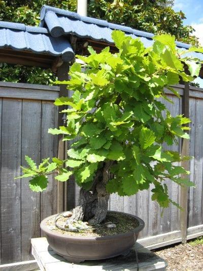 Bonsái de Quercus dentata