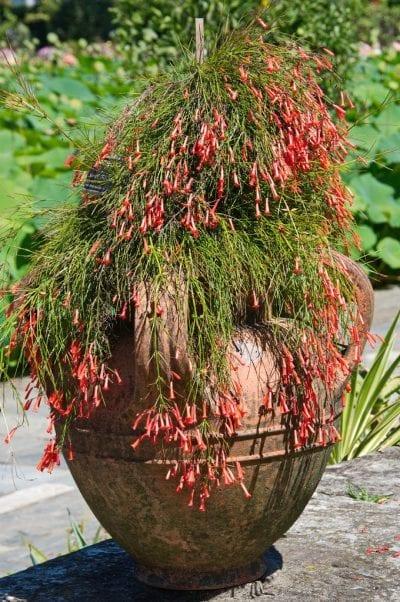 Planta de Rusellia en maceta