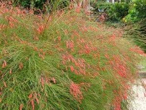 Planta de Russelia
