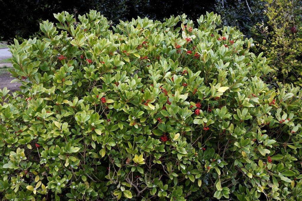 Arbusto de Skimmia japonica