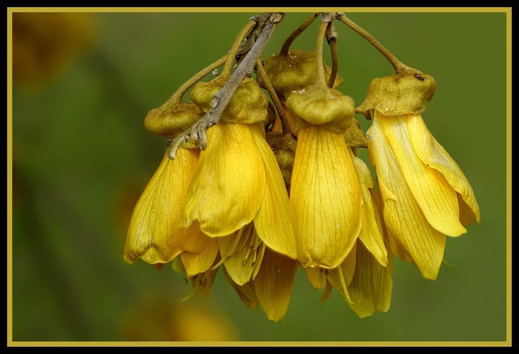 Flores amarillas de Sophora