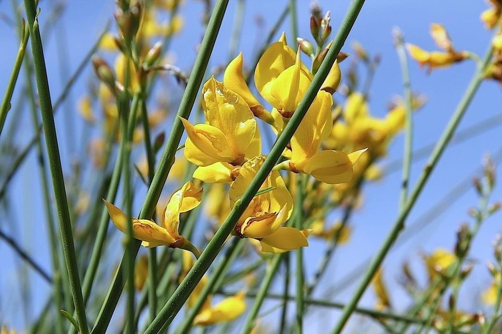 El Spartium junceum produce flores amarillas