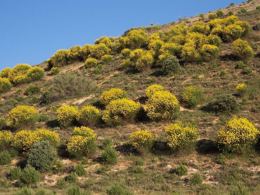 El Spartium junceum crece en suelos pobres