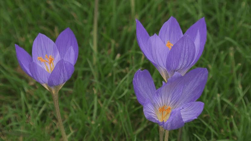 tres flores de la Colchicum semicerradas y de un color morado