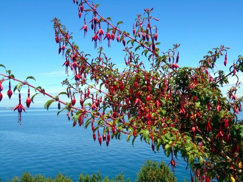 un gran arbol llamado Fuchsia magellanica que se encuentra cerca del mar y que esta lleno de flores