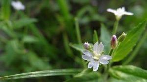 una flor abierta de la planta Epilobium roseum de color blanco