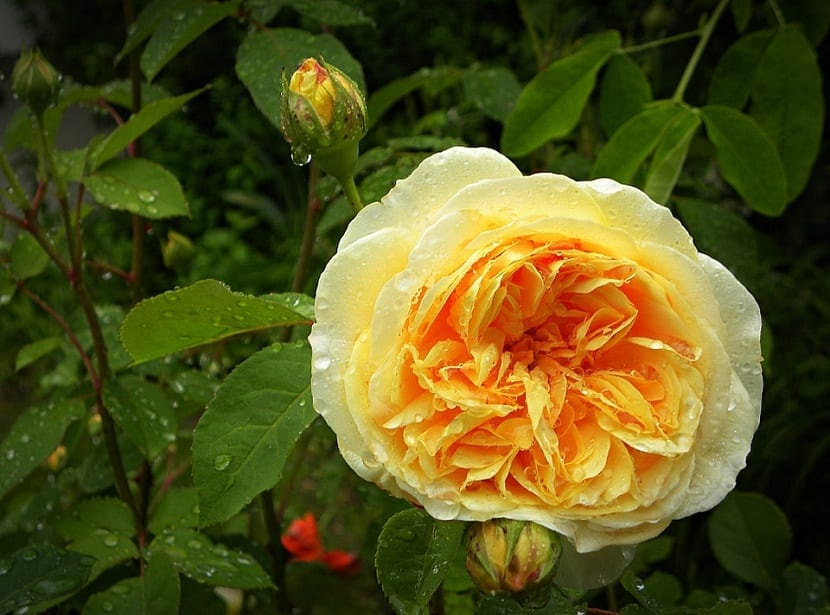 una rosa de color amarillo anaranjado llamada Rosas Inglesas o de David Austin despues de la lluvia