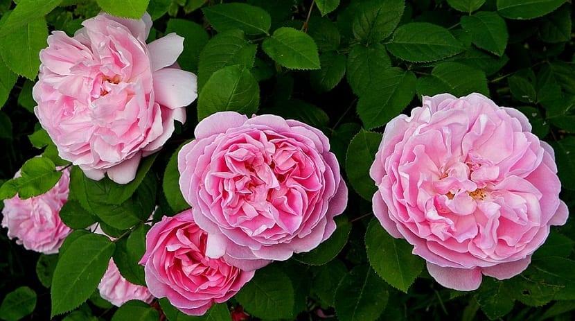 varias rosas de tamaño grande y de color rosa cuyo nombre es Rosas Inglesas o de David Austin